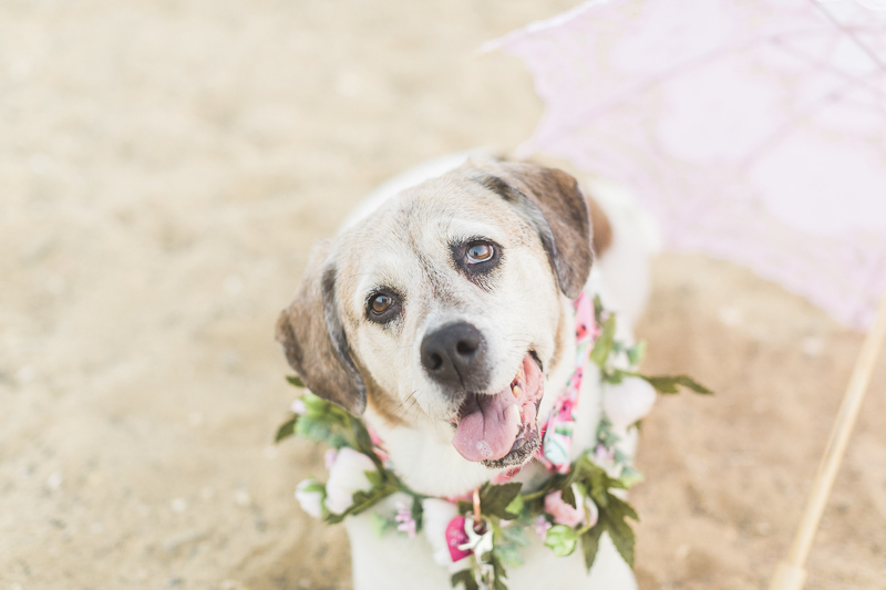 Beagle-Pointer mix wearing floral wreath, pink parasol on the beach | ©Kelly Sea Images