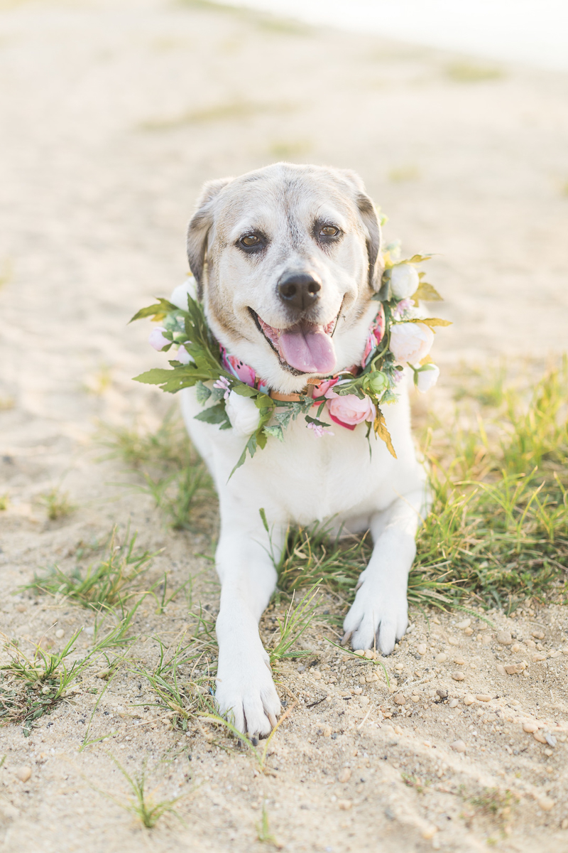 sweet senior Beagle-Pointer mix wearing floral wreath at the beach | ©Kelly Sea Images | NJ lifestyle dog photographer
