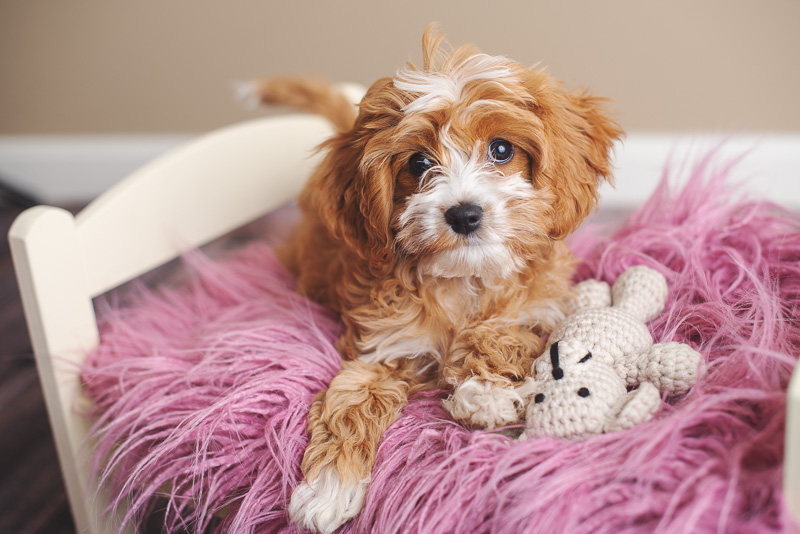 mischievous looking puppy on fuzzy pink pillow, ©Luciana Calvin Photography | studio dog portraits