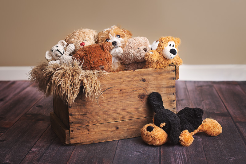 puppy in box of stuffed animals | ©Luciana Calvin Photography | studio dog portraits