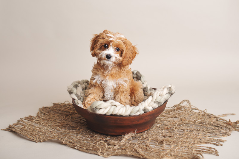 newborn styled puppy shoot, puppy in wooden bowl, ©Luciana Calvin Photography