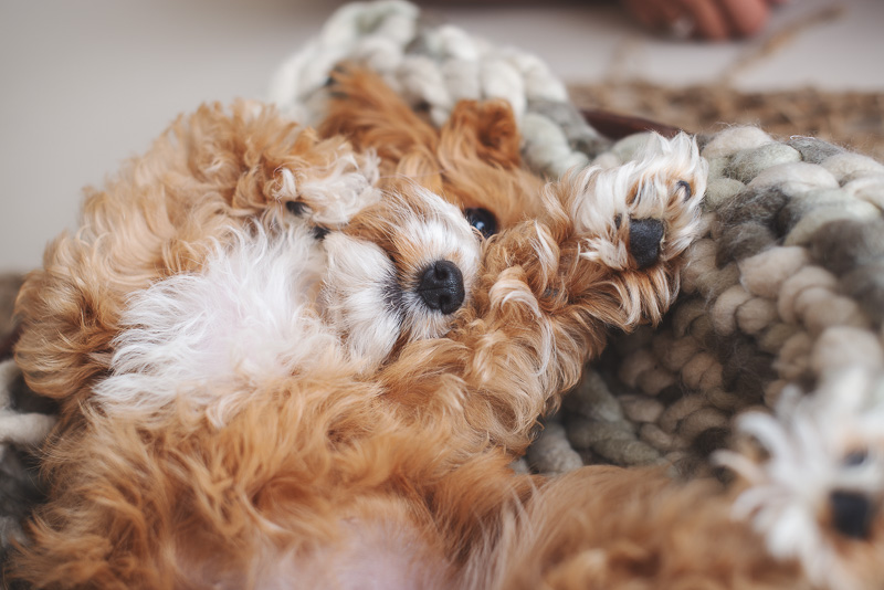 cute Cavapoo puppy lying on her back | newborn styled puppy portraits | ©Luciana Calvin Photography | studio dog portraits