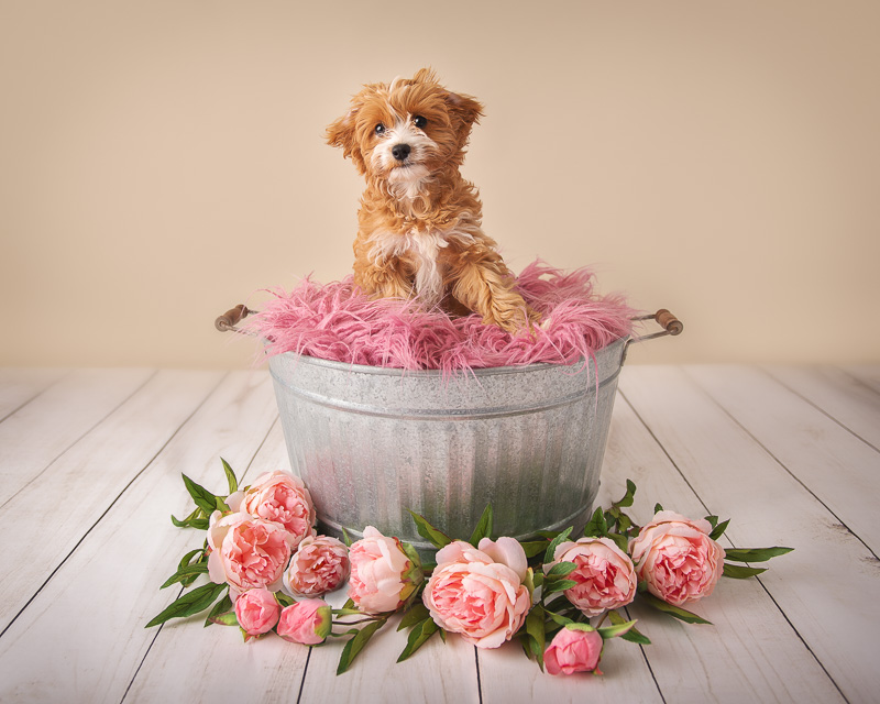 fuzzy mixed breed puppy sitting in bucket , ©Luciana Calvin Photography | studio dog portraits