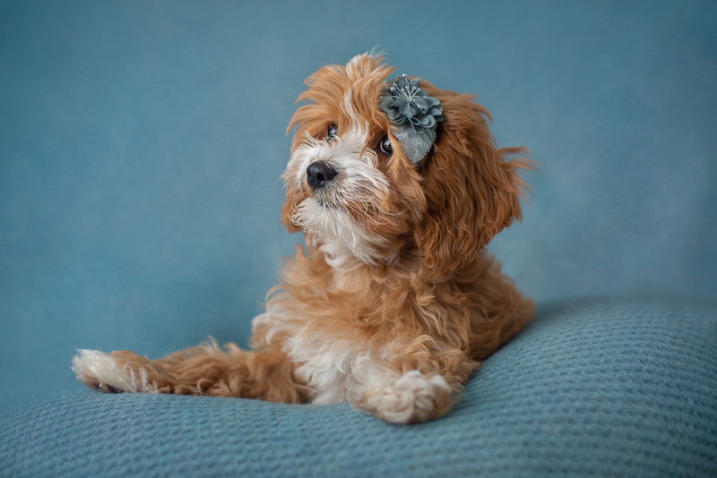 puppy photoshoot, brown and white Cavapoo puppy with hair accessory | ©Luciana Calvin Photography studio dog portraits