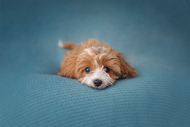 cute Cavalier-Poodle mix puppy lying on blue background, ©Luciana Calvin Photography | studio puppy photography