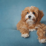 Puppy Love:  Hazel the Cavalier-Poodle Puppy