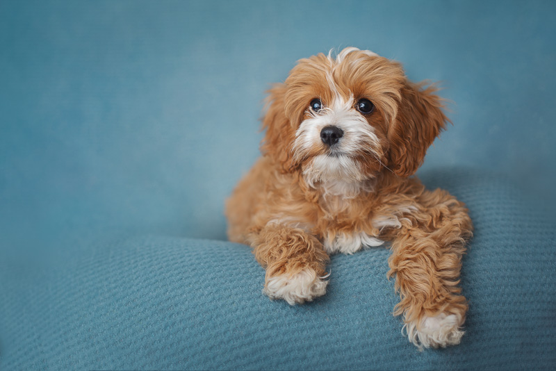 puppy love, cute mixed breed puppy on blue background, | Luciana Calvin Photography