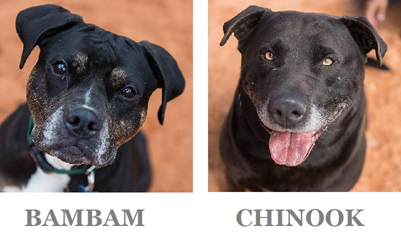 sweet senior Black Lab mixes looking for forever homes.