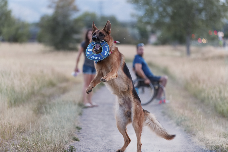 GSD catching toy, lifestyle dog photography ©Good Morrow Photography | Arvada, Colorado