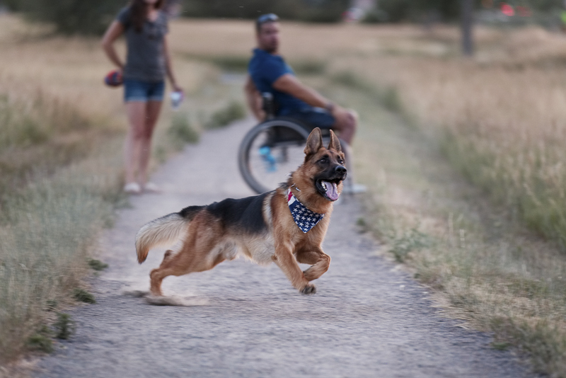 GSD running to catch ball, humans in the background, ©Good Morrow Photography | Arvada, Colorado lifestyle dog photographer
