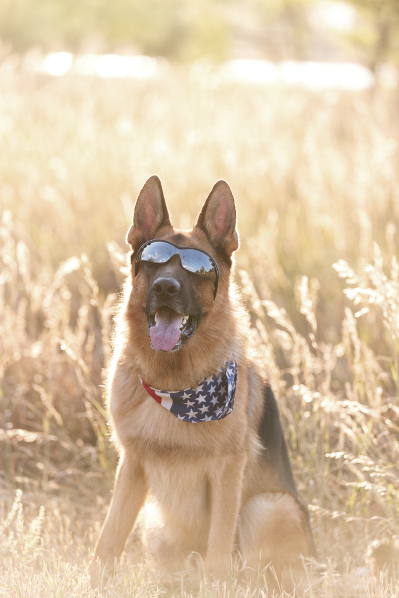 ©Good Morrow Photography | lifestyle dog photography, German Shepherd wearing sunglasses