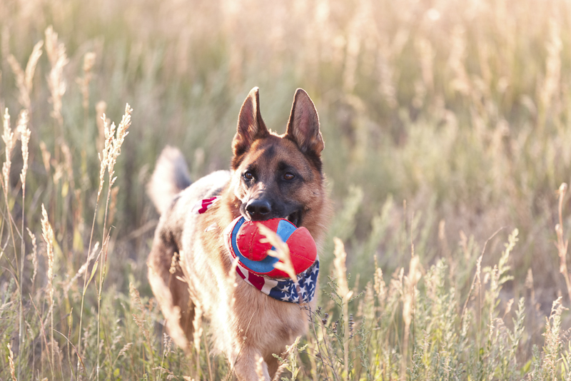 ©Good Morrow Photography, handsome German Shepherd holding ball in mouth while standing in field of tall grass