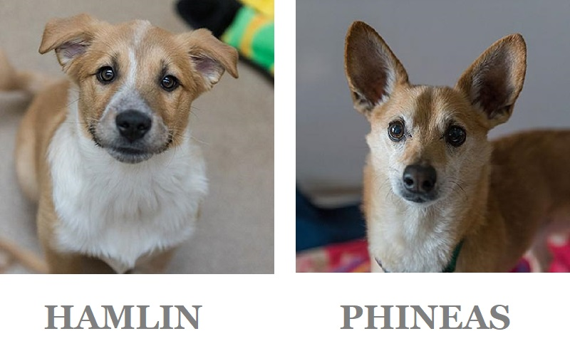 Adoptable puppy and senior Chihuahua mix at BFAS