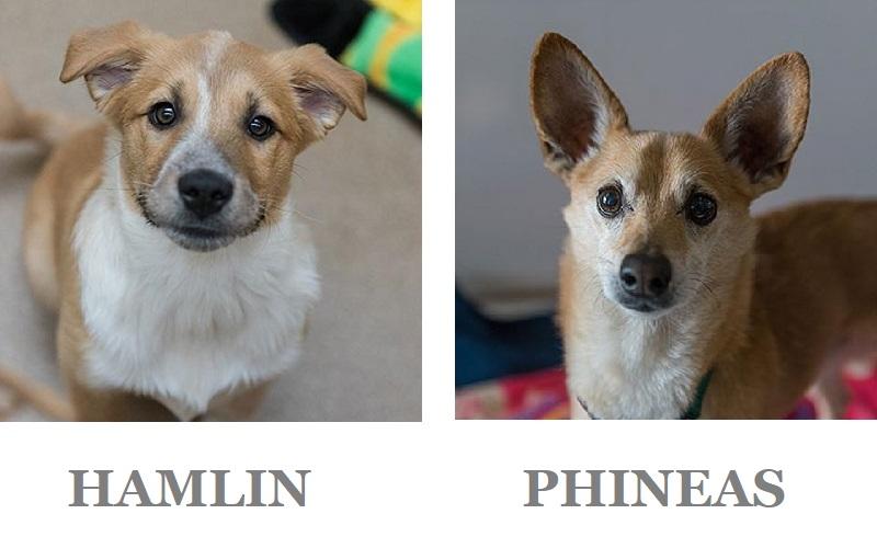 Adoptable puppy and senior Chihuahua mix at BFAS