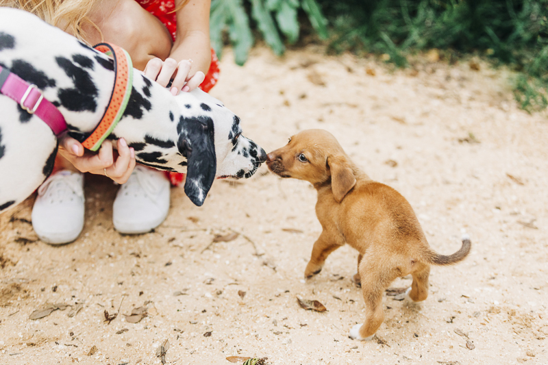Dalmatian and brown puppy sniffing noses, ©Kenzie Rae Photography | Florida dog photographer