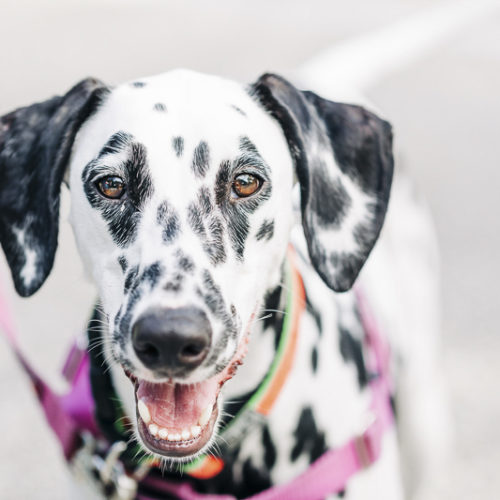 Engaging Tails:  Nora the Dalmatian