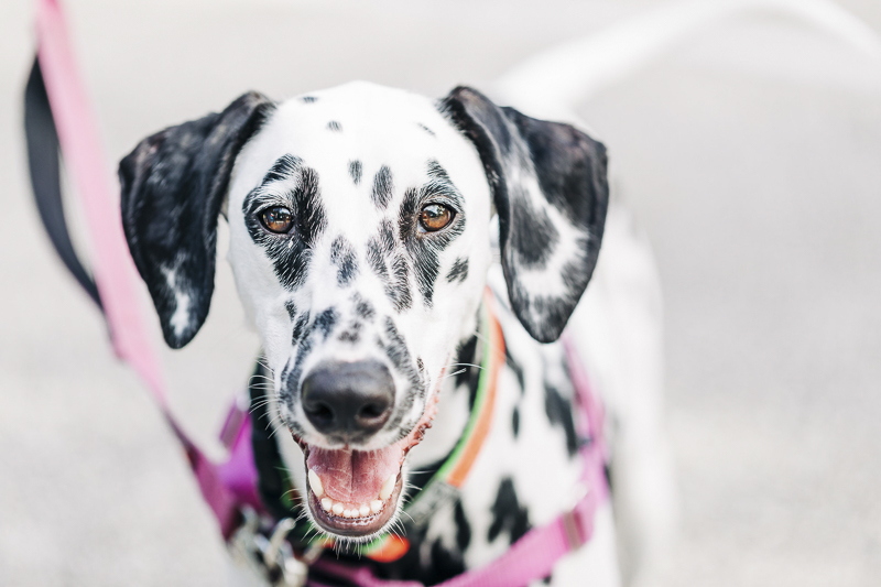 gorgeous black and white Dalmatian, ©Kenzie Rae Photography | Ormond Beach dog photographer