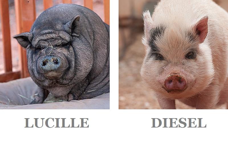 Adoptable Pigs, Best Friends Animal Sanctuary