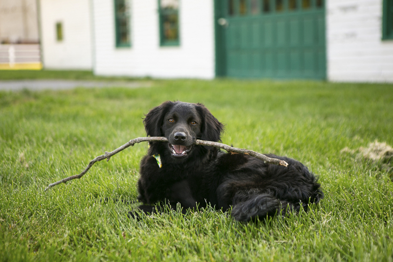 tween puppy with stick, handsome mixed breed, ©Mandy Whitley Photography | Nashville puppy portraits