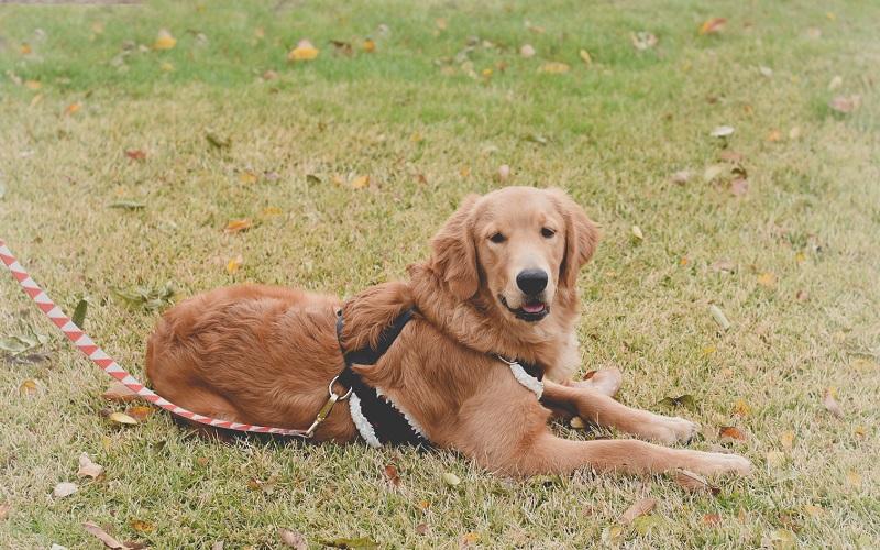 Golden Retriever puppy lying on grass