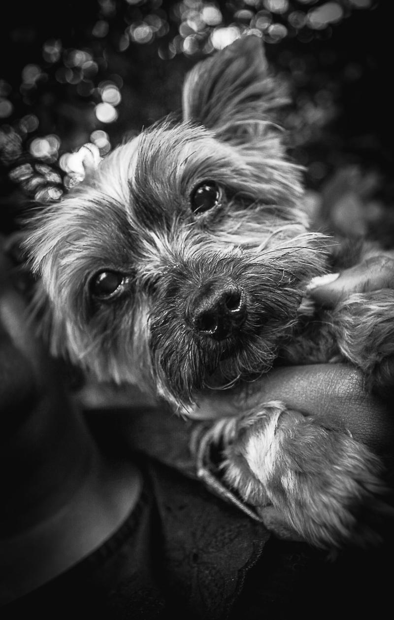 black and white photo of Yorkie,