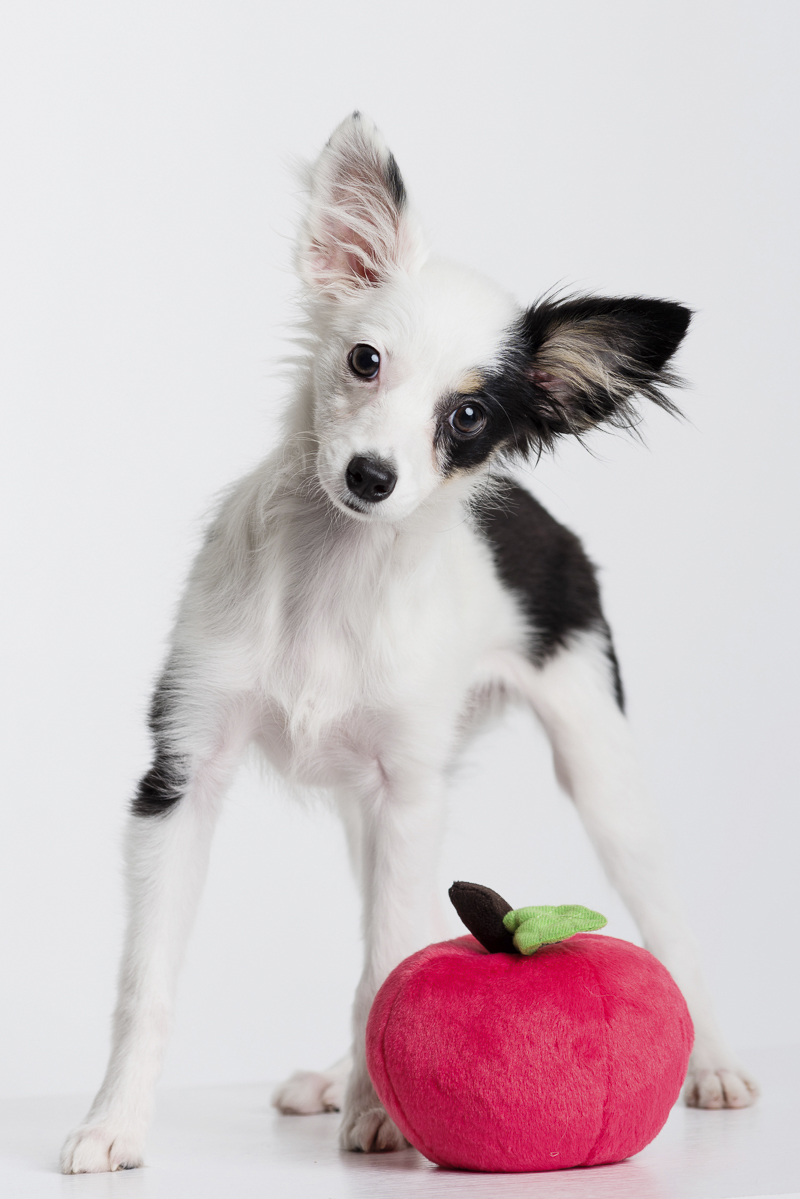 adorable Mini-Aussie puppy with red apple plush toy | ©Alice G Patterson Photography