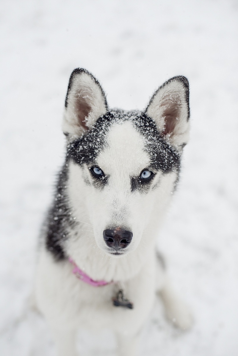 ©Alison Mae Photography, Indianapolis lifestyle dog photography, Husky mix in the snow