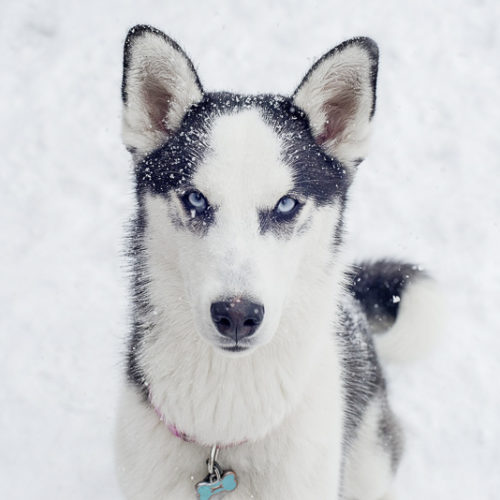 Happy Tails:  Willow the Husky and Nova the Husky Mix