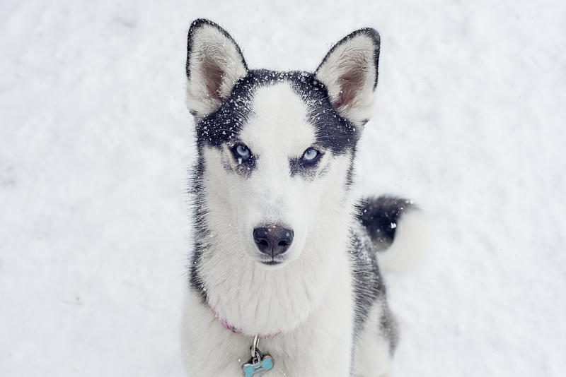 blue eyed Husky-Border Collie mix in snow, ©Alison Mae Photography, Indianapolis lifestyle dog photography