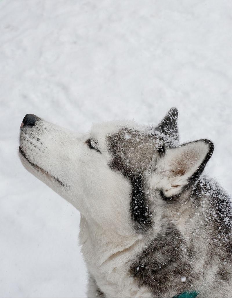 Husky in profile, ©Alison Mae Photography, Indianapolis lifestyle dog photographer
