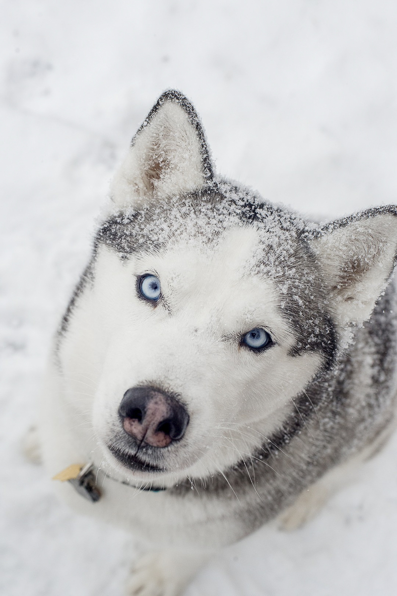 Beautiful Husky sitting with snow on fur | ©Alison Mae Photography, Indianpolis dog photography