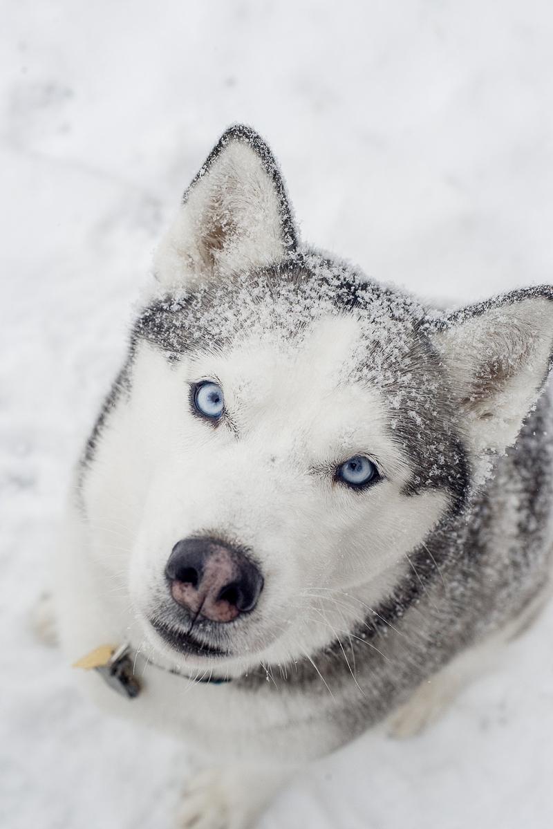 Beautiful Husky sitting with snow on fur | ©Alison Mae Photography, Indianpolis dog photography
