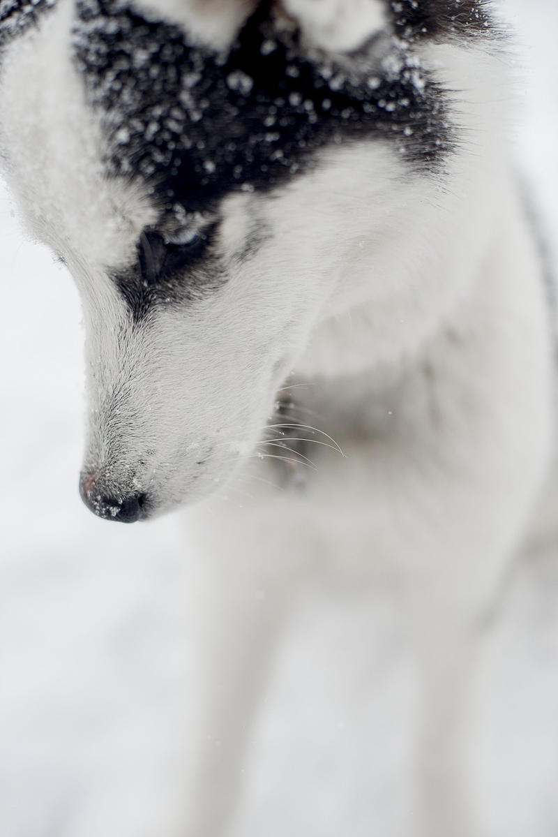 black and white Husky mix, winter dog photography ideas, ©Alison Mae Photography