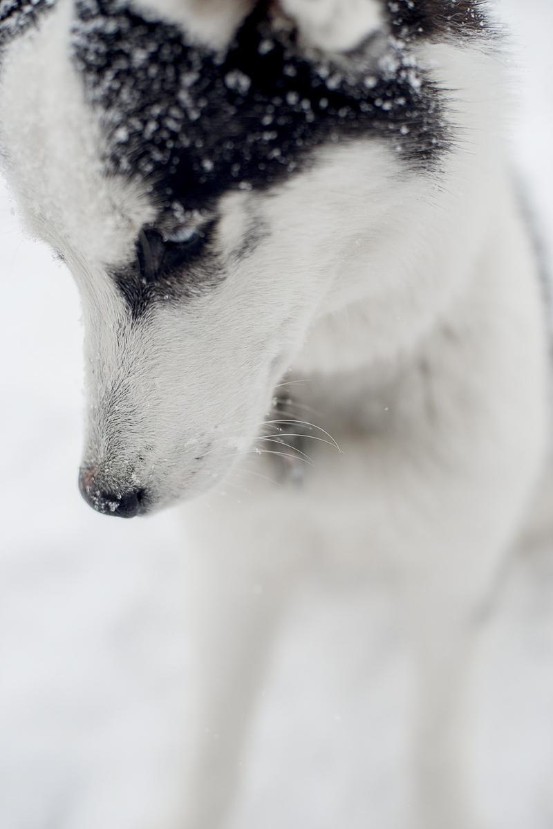 black and white Husky mix, winter dog photography ideas, ©Alison Mae Photography