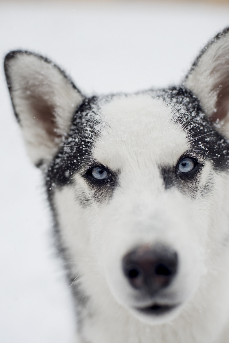sweet Husky mix in the snow, ©Alison Mae Photography, Indianapolis lifestyle dog photography