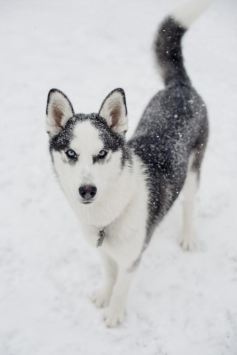 snow dog, Border Collie mix in snow, winter dog photoshoot