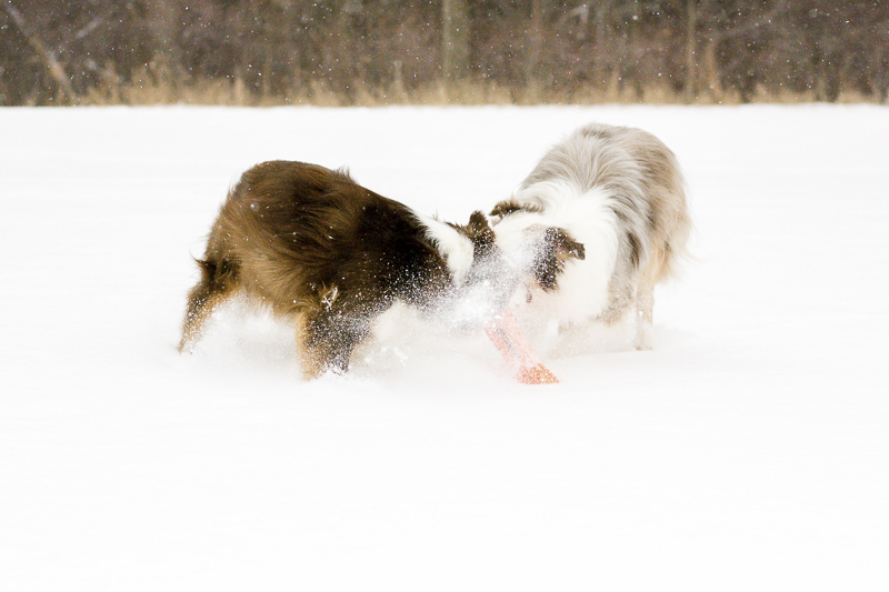 dogs playing with a toy in the snow | ©Beth Alexander Pet Photography | on location winter pet photography ideas, Cornwall, Ontario