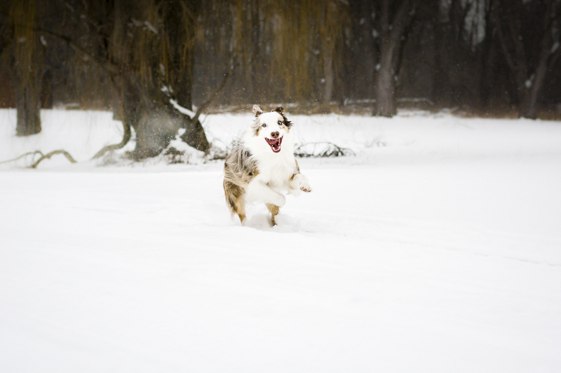 Aussie playing in the snow | ©Beth Alexander Pet Photography | on location dog portraits