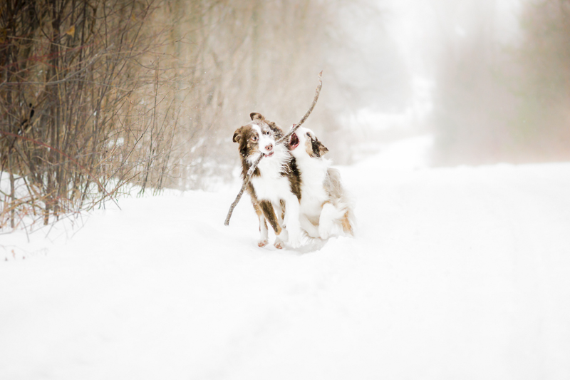 Two dogs running on snowy path with a big stick, ©Beth Alexander Pet Photography | dog photography blog
