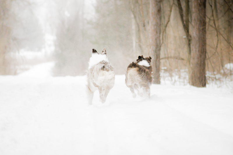 off leash Australian Shepherds running in the snow | ©Beth Alexander Pet Photography | dog photography ideas