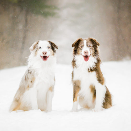 Happy Tails:  Bentley & Griffin the Australian Shepherds