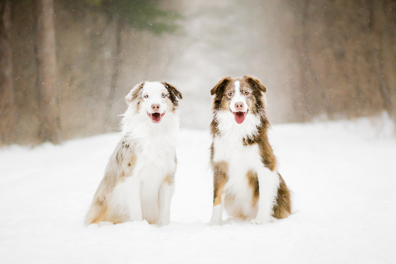 Handsome Australian Shepherds sitting in the snow | ©Beth Alexander Pet Photography