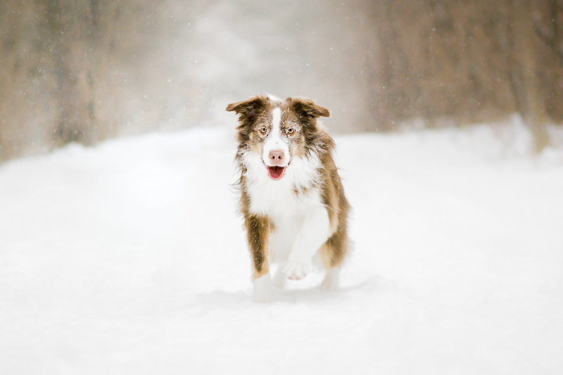 Snowy dog running, winter dog photoshoot, Cornwall, ON, ©Beth Alexander Pet Photography