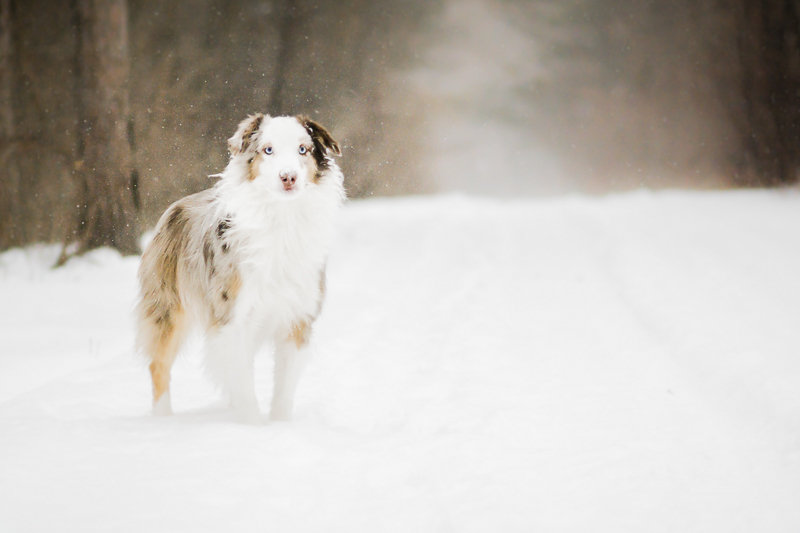 handsome dog standing in the snow, Aussie, professional pet photographer serving Ottawa to Cornwall, ON