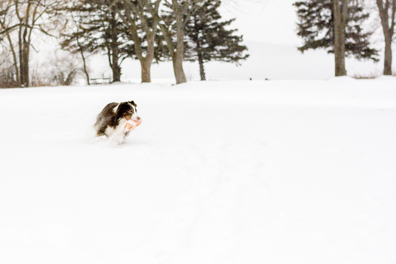 A dog's life, dog playing in the snow | ©Beth Alexander Pet Photography