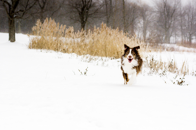 happy dog running in a snowy field, ©Beth Alexander Pet Photography