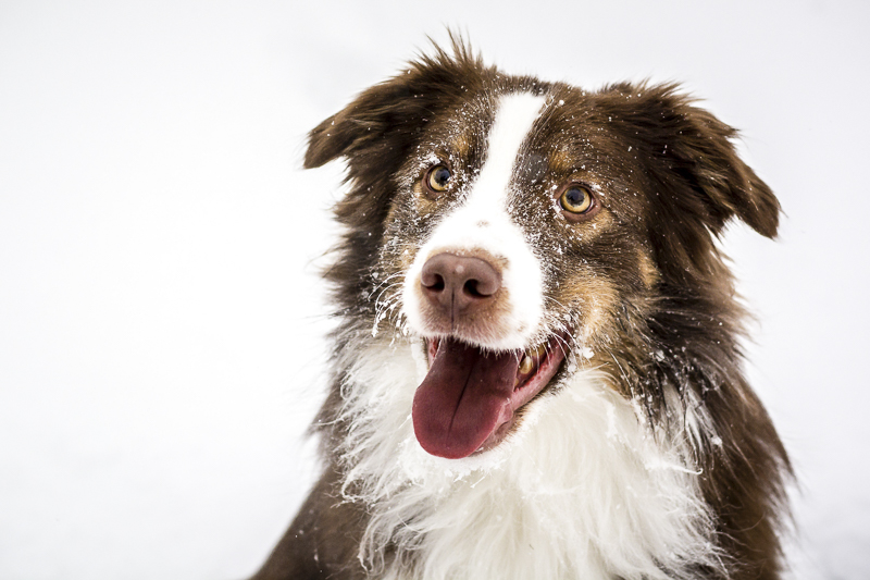 Handsome Australian Shepherd with snow on his face, ©Beth Alexander Pet Photography | lifestyle dog photography ideas