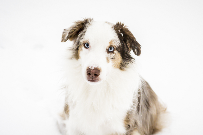 handsome Australian Shepherd in the snow, cute dog pictures, ©Beth Alexander Pet Photography | on location winter pet photography, Cornwall, Ontario