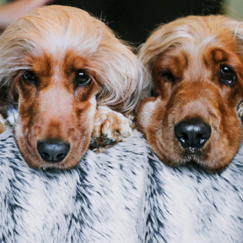 Happy Tails:  Charlie & Frankie | English Cocker Spaniels