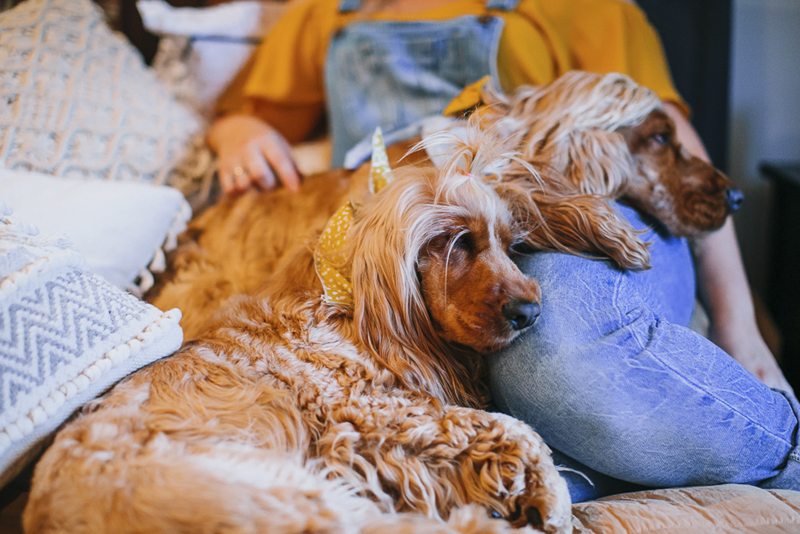 Two cocker spaniels sharing their favorite person's lap, ©Dogfolk Pet Photography and Storytelling